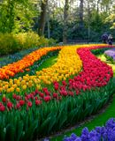 Rows of vibrant colour tulips on display at Keukenhof Gardens, Lisse, South Holland. Photographed in HDR high dynamic range. Vibrant colour tulips on display at royalty free stock photography