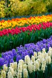 Rows of vibrant colour tulips on display at Keukenhof Gardens, Lisse, South Holland. Photographed in HDR high dynamic range. Vibrant colour tulips on display at royalty free stock photo