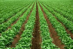 Rows of vibrant green crop plants Royalty Free Stock Images
