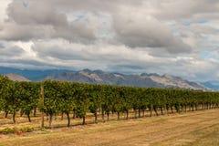 Rows of vine growing in vineyard Royalty Free Stock Photo