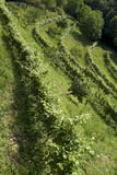 Rows of vine on the hillside Royalty Free Stock Image