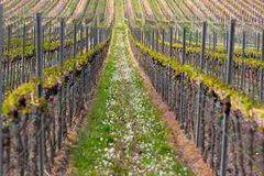 Rows of vine, Pfalz, Germany Royalty Free Stock Photo