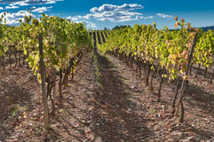 Rows of vine, Spain Stock Photo