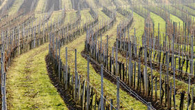 Rows of vine stocks in a winter without snow Stock Photos