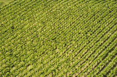 Rows of vines. Section of a vineyard from above showing the rows of vines Royalty Free Stock Image