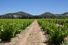 Rows of Vines Royalty Free Stock Images