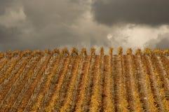 rows vines Arkivfoton