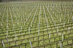 rows vines Royaltyfri Foto