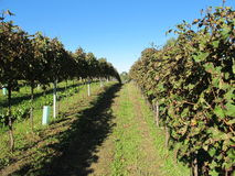 Rows of vines in autumn Royalty Free Stock Photos