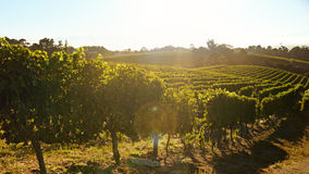 Rows of vines bearing fruit in vineyard Royalty Free Stock Photos