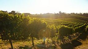 Rows of vines bearing fruit in vineyard Royalty Free Stock Photos