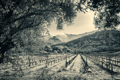 Rows of vines in Corsican vineyard and snow covered mountains Royalty Free Stock Images