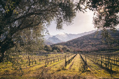 Rows of vines in Corsican vineyard and snow covered mountains Royalty Free Stock Image