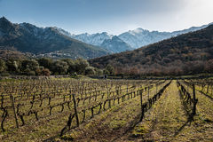 Rows of vines in Corsican vineyard and snow covered mountains Royalty Free Stock Photo