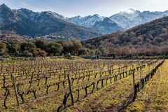 Rows of vines in Corsican vineyard and snow covered mountains Stock Photos