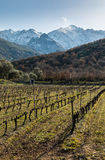 Rows of vines in Corsican vineyard and snow covered mountains Stock Photography