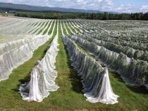 Rows of vines covered with netting stock photos