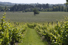 Rows of vines in English Vineyard Royalty Free Stock Images