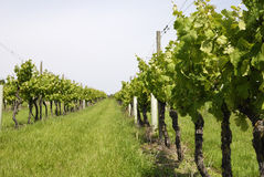 Rows of vines in English vineyard Royalty Free Stock Photography