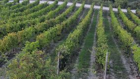 Rows of vines in a field in the winery grounds. Nature stock video footage