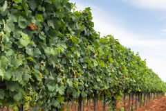Rows of vines in grape plantation scenery. Vineyard. Royalty Free Stock Images