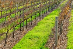 Rows of vines #2 Royalty Free Stock Photography
