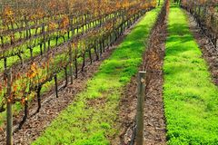 Rows of vines Stock Photos