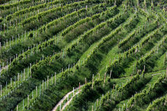 Rows of vines in the hills of Prosecco Stock Photos