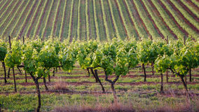 Rows. Of vines at a Hunter Valley vineyard Stock Photography