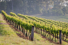 Rows. Of vines at a Hunter Valley vineyard Royalty Free Stock Photography