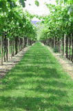 Rows of vines in the Italian hills Royalty Free Stock Photography