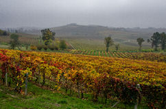 Rows of vines and its fruit grapes and then wine Royalty Free Stock Photography