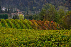 Rows of vines and its fruit grapes and then wine Stock Images