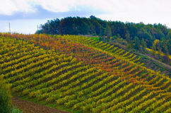 Rows of vines and its fruit grapes and then wine Royalty Free Stock Images