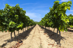 Rows of vines Stock Photo