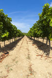 Rows of vines Stock Images