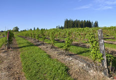 Rows and vines of raspberry field. Royalty Free Stock Photography