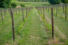 Rows of vines. In spring Royalty Free Stock Image