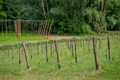 Rows of vines. In spring Royalty Free Stock Photography