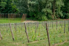 Rows of vines. In spring Stock Image