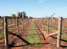 Rows of Vines with Shaw Swing Arm Trellis. Royalty Free Stock Images