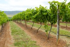 Rows of vines stretching into the distance Stock Photos