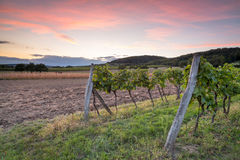 Rows of vines after sunset Stock Images
