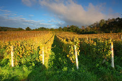 Rows of vines to sunset Royalty Free Stock Images