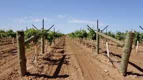 Rows Of Vines With V-Trellis. Stock Images