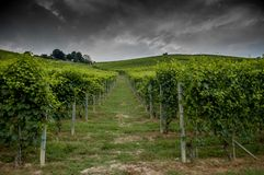 Rows of vines. In the vineyard rows Royalty Free Stock Photo