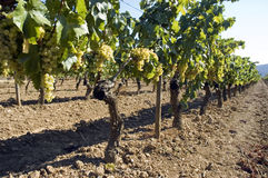 Rows of vines in vineyard Royalty Free Stock Photos