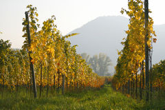 Rows of vines at a vineyard in Austria Royalty Free Stock Photos