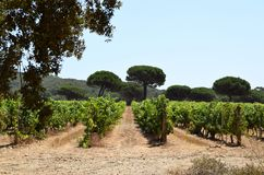 Rows of vines in a vineyard. On the island of Porquerolles in France Royalty Free Stock Images