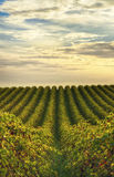 Rows of vines at vineyard in McLaren Vale, South Australia Royalty Free Stock Photos